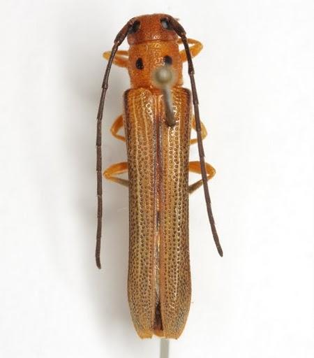 Oberea myops Haldeman - Oberea myops