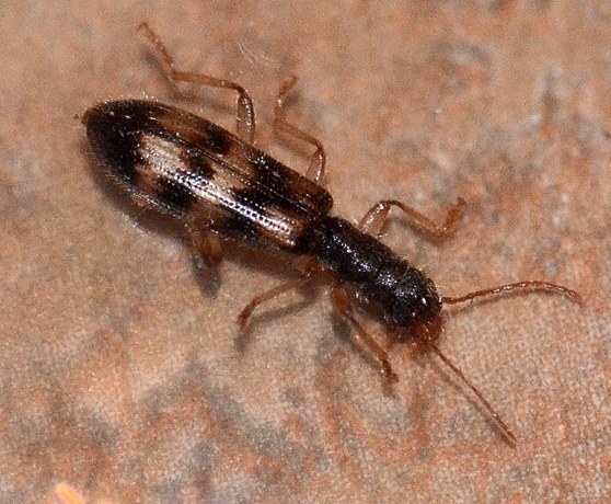 Undulate Checkered Beetle - Cymatodera undulata