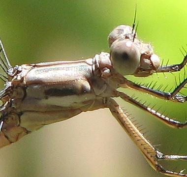 Female CA Spreadwing - Archilestes californica - female