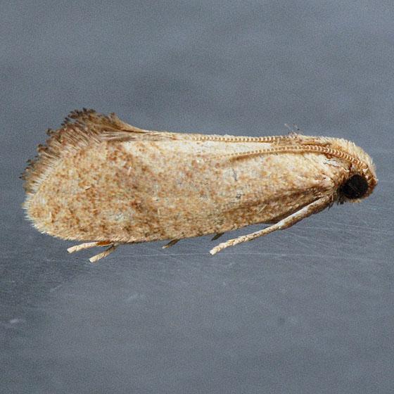 Unidentified  - Acrolophus bicornutus
