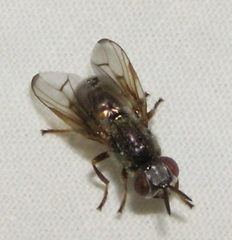 Syrphid-ish - Senopterina