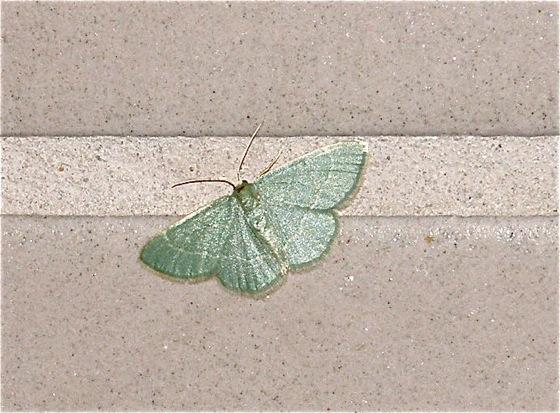 Emerald - Chlorochlamys phyllinaria - female