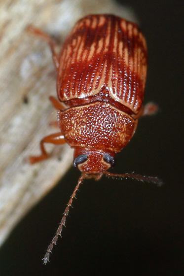 beetle - Cryptocephalus