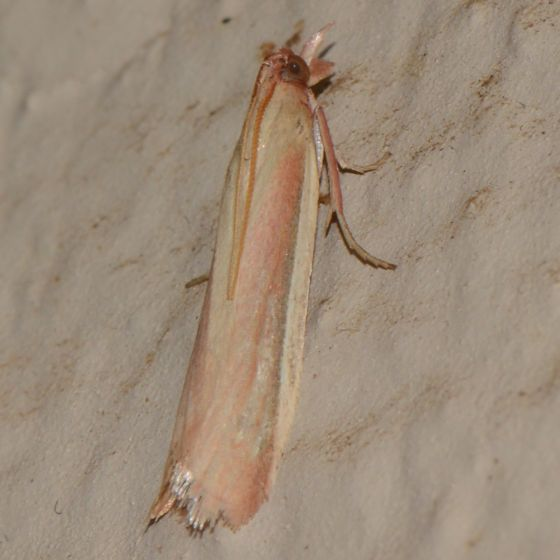 Pink and Yellow - What is it? - Peoria approximella
