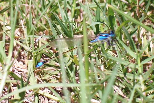 Rambur's forktail - blue form - Ischnura ramburii - female