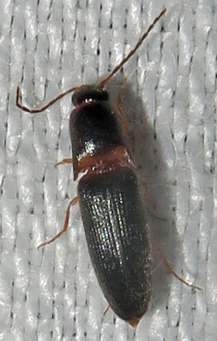 Click Beetle - Megapenthes rufilabris