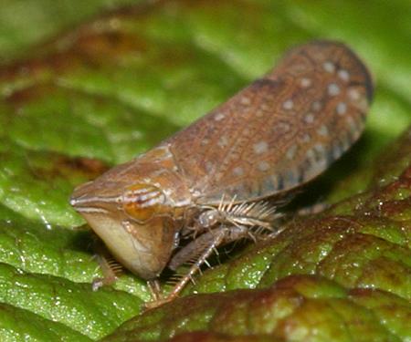 Leafhopper - Scaphytopius cinnamoneus