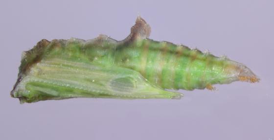 Pterophoridae, pupaX - Geina sheppardi