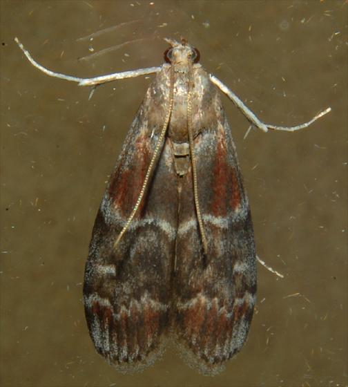 Root Collar Borer - Euzophera ostricolorella