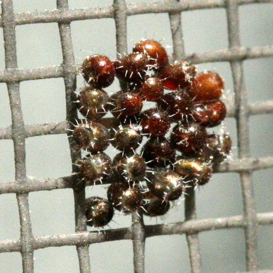 Stink Bug Eggs - Podisus