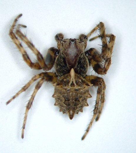 KY spider 04 - Acanthepeira stellata - male