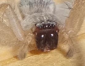 Running Crab Spider. ? - Olios giganteus