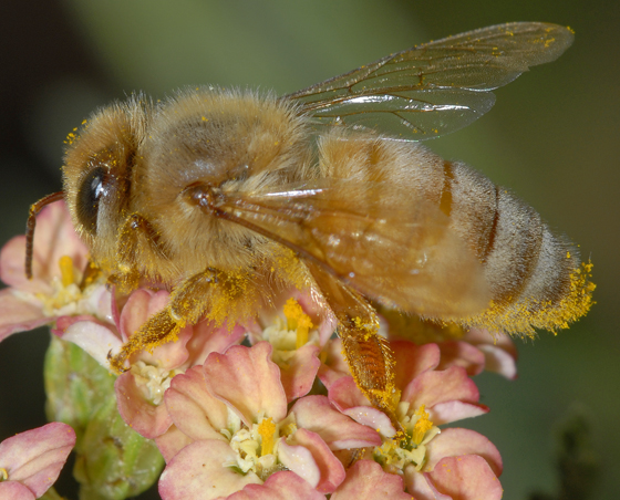 unknown bee - Apis mellifera - female