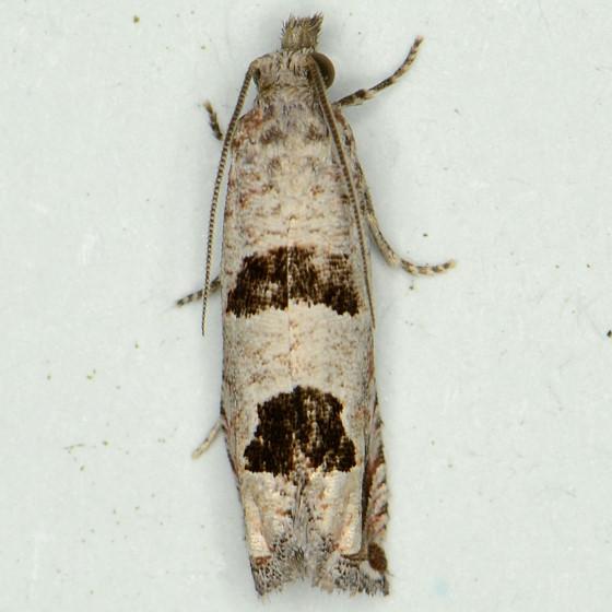 Pelochrista (Eucosma) floridensis- 3132.6 - Pelochrista floridensis