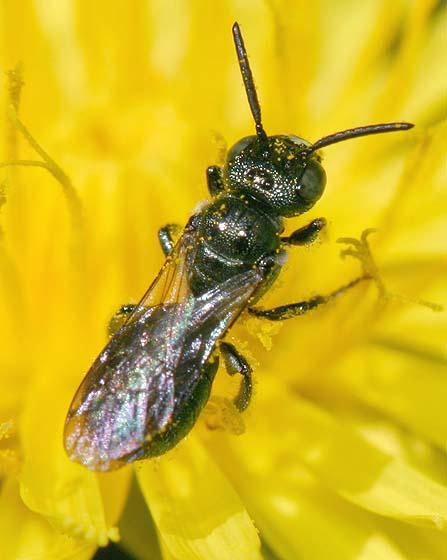Small Carpenter Bee? - Ceratina calcarata - male