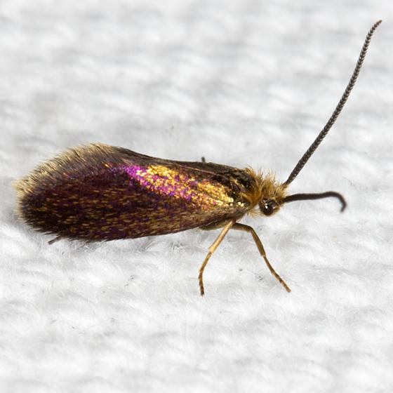 Goldcap Moss-eater Moth - Hodges#0001 - Epimartyria auricrinella