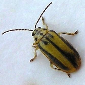 Elm Leaf Beetle? - Xanthogaleruca luteola