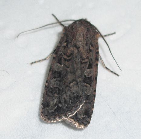 please check ID - Euxoa septentrionalis