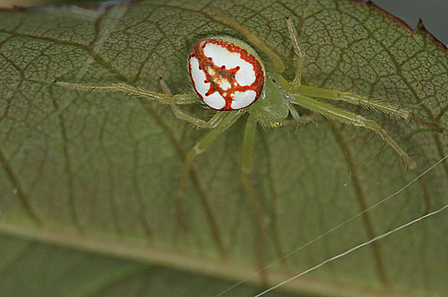 Araneus guttulatus? - Araneus guttulatus