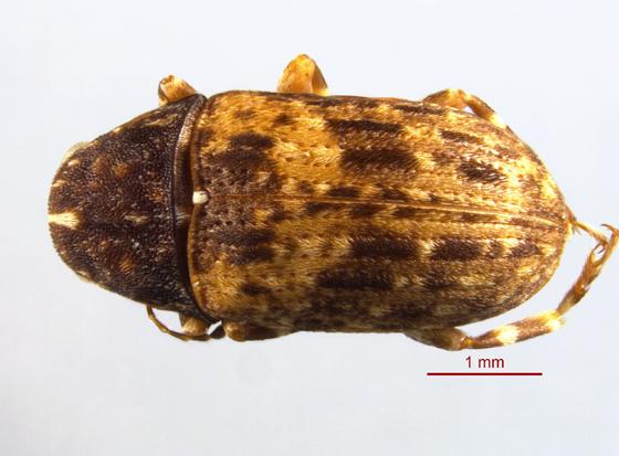 Anthribidae 1 - Piesocorynus mixtus