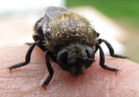 Adult - Microdon lanceolatus