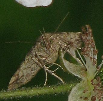 Moth unknown sp - Phalaenophana pyramusalis