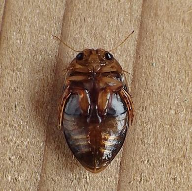 Hydrophilidae? - Laccophilus maculosus