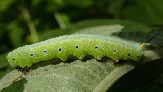Snowberry Clearwing caterpillar - Hemaris diffinis