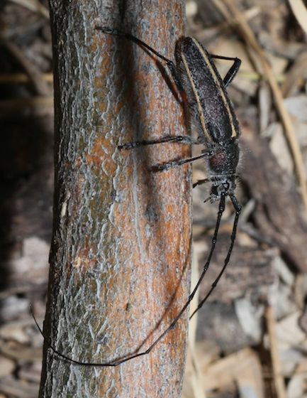 Long-horned Beetles - Schizax senex