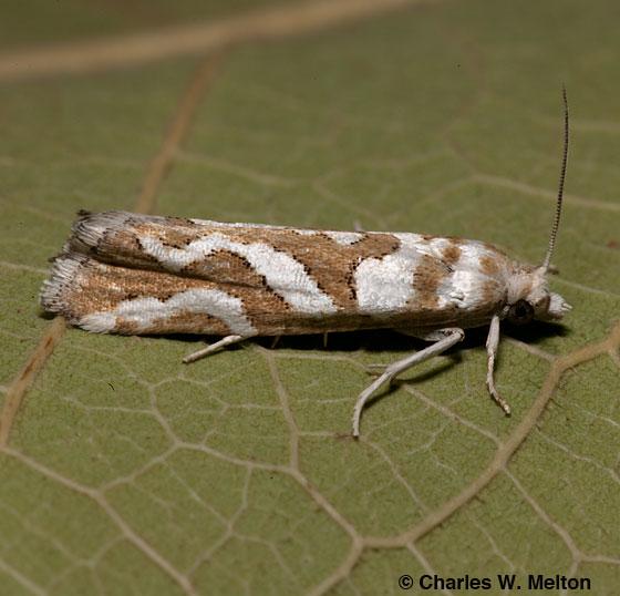 Moth - Pelochrista bolanderana