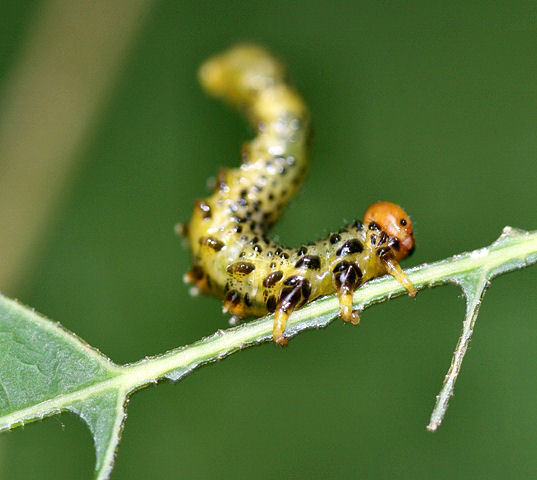 Sawfly larvae feeding on red oak - Arge