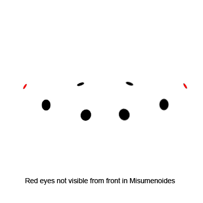 Misumenoides Eye Arrangement - Misumenoides formosipes