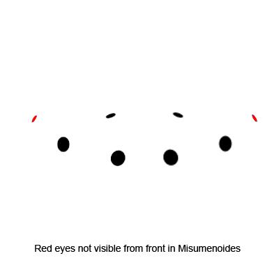 Misumenoides Eye Arrangement - Misumenoides formosipes