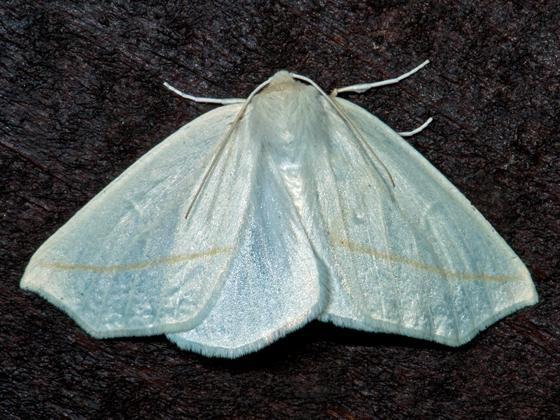 White Slant-Line - Tetracis cachexiata
