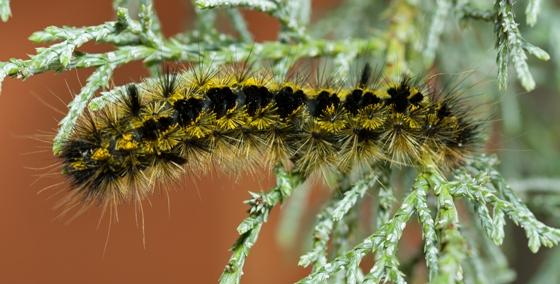 Erebid moth caterpillar? - Lophocampa argentata