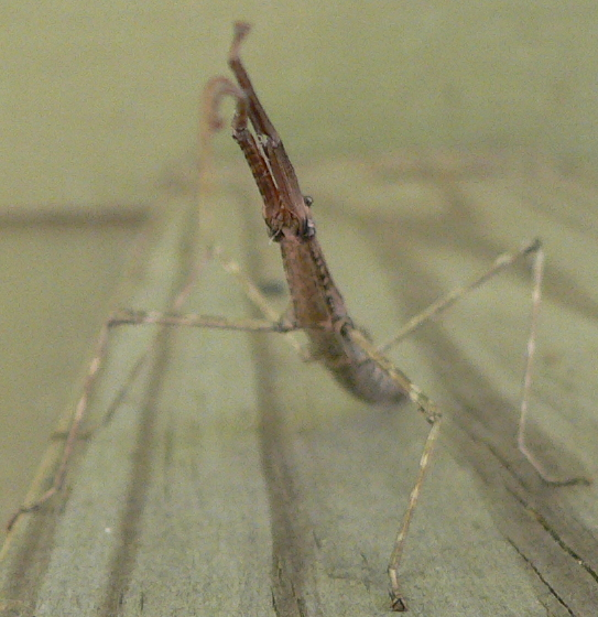 Northern Walkingstick - Diapheromera femorata - female