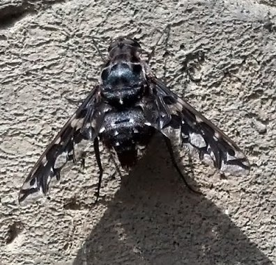 What is this? - Xenox tigrinus