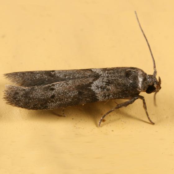 small moth - Blastobasis glandulella
