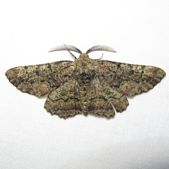 Geometridae - Ennominae? - Phaeoura quernaria - male