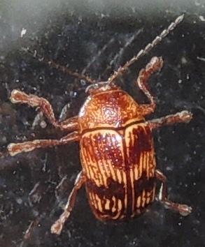 Sm striped beetle - Cryptocephalus