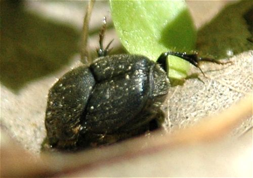 Flying Insect in Georgia - Onthophagus hecate