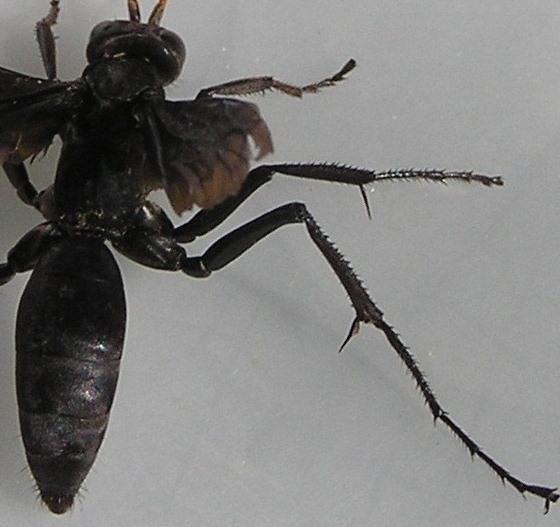 Spider Wasp - Entypus