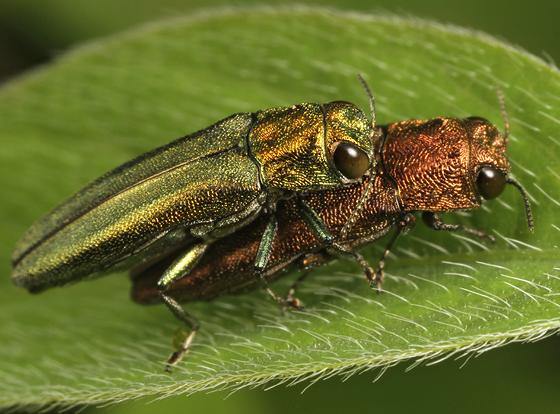 buprestids - Agrilus arizonicus