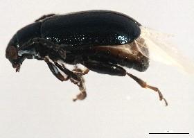Phyllotreta albionica