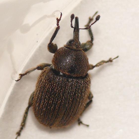 Weevil 10.06.17 (1) - Rhinusa tetra