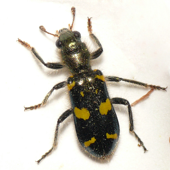 Checkered beetle from Banff 10.07.09 - Trichodes ornatus