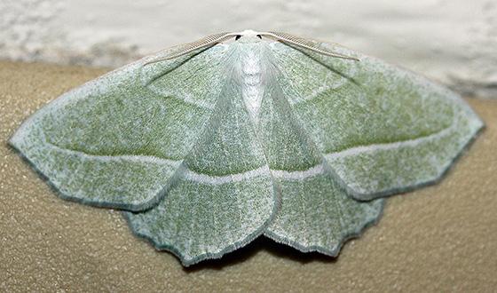 Green Moth,