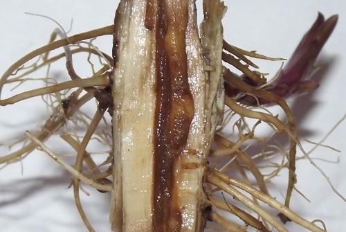 Stem and root borer, goldenrod - Hellinsia glenni