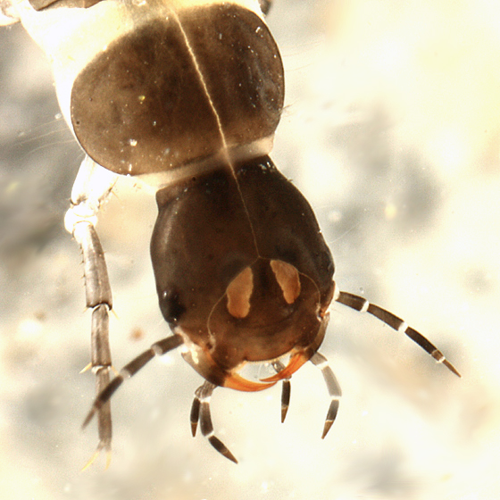 Beetle larva - Agabus