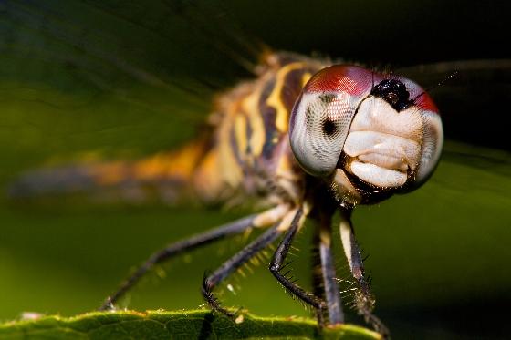 Blue Dasher? - Pachydiplax longipennis
